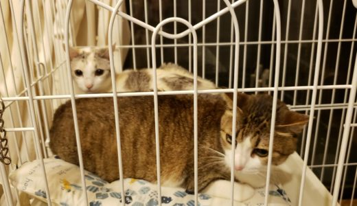 飼い主さんが倒れて飼育できなくなった老猫の里親になった。里親ブログ